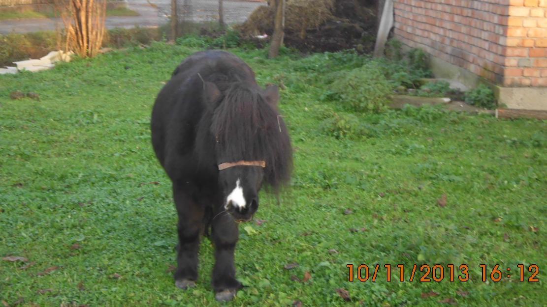 ponei schimb cu capre oi sau motocositoare - Pret   Preturi ponei schimb cu capre oi sau motocositoare