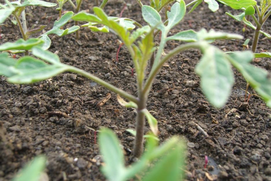 Rasaduri legume:rosii, castraveti, ardei, vinete si varza - Pret | Preturi Rasaduri legume:rosii, castraveti, ardei, vinete si varza