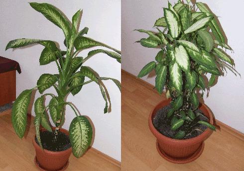 Vand 2 plante decorative pret preturi vand 2 plante for Plante decorative