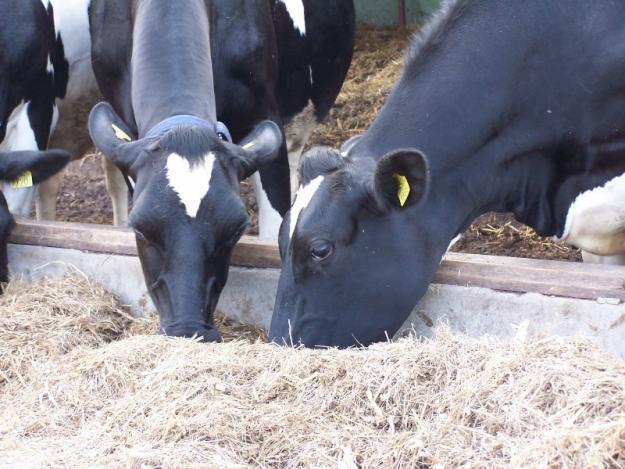 vindem vaci de rasa in rate - Pret   Preturi vindem vaci de rasa in rate