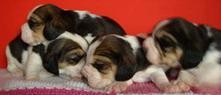 pui beagle cu pedigree - Pret | Preturi pui beagle cu pedigree