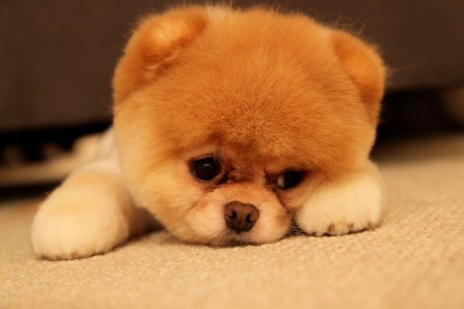 Pomeranian Tip Boo