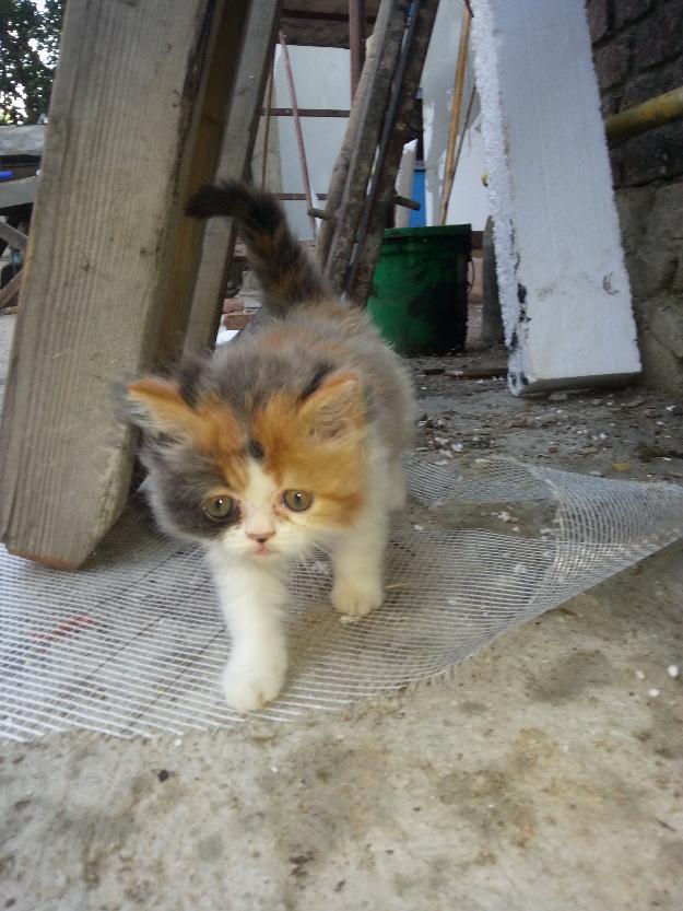 vand pisica persana vand pisica persana - Pret oferta - Page 3